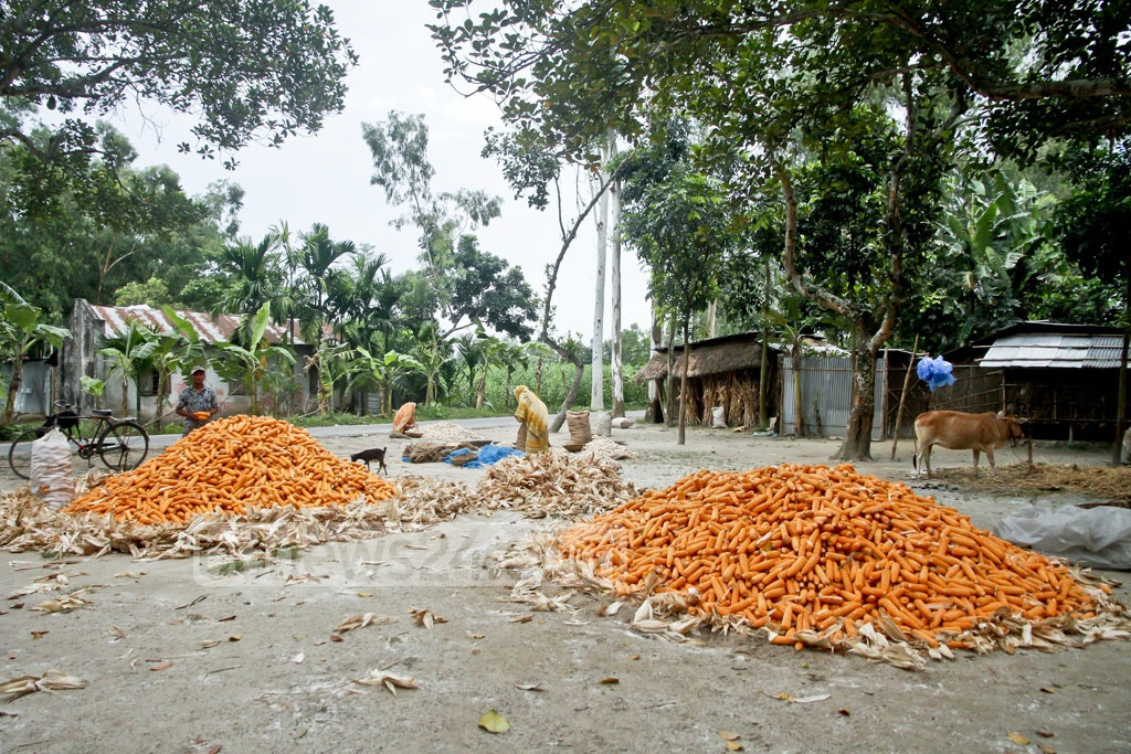Corns are piled on beds made from their husks at Mangalpur of Dinajpur's Biral Upazila. Photo: tanvir ahammed
