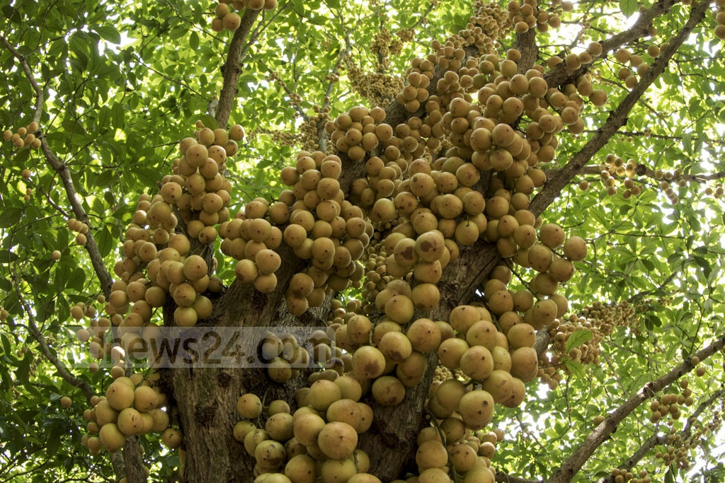 Lotkons hanging from a tree in an orchard at Belabo's Joynagar village. The fruit is grown all around the upazila with commercial purposes nowadays. Photo: mostafigur rahman