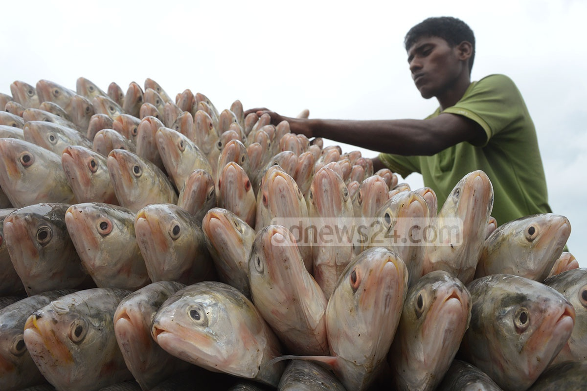 A worker is arranging a pushcart with hilshas at Chittagong's Fishery Ghat on Saturday. Photo: suman babu