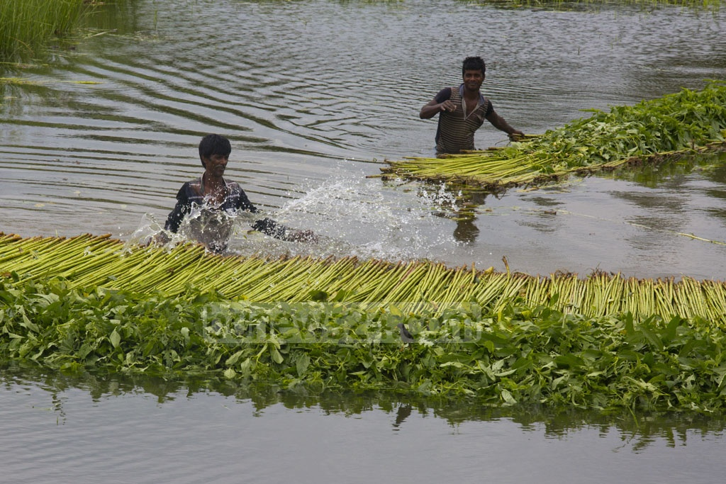 Farmers at Tangail's Nagarpur soaking jute, which they say had a better yield this year, in a water body after harvesting them from a nearby field. Photo: mostafigur rahman