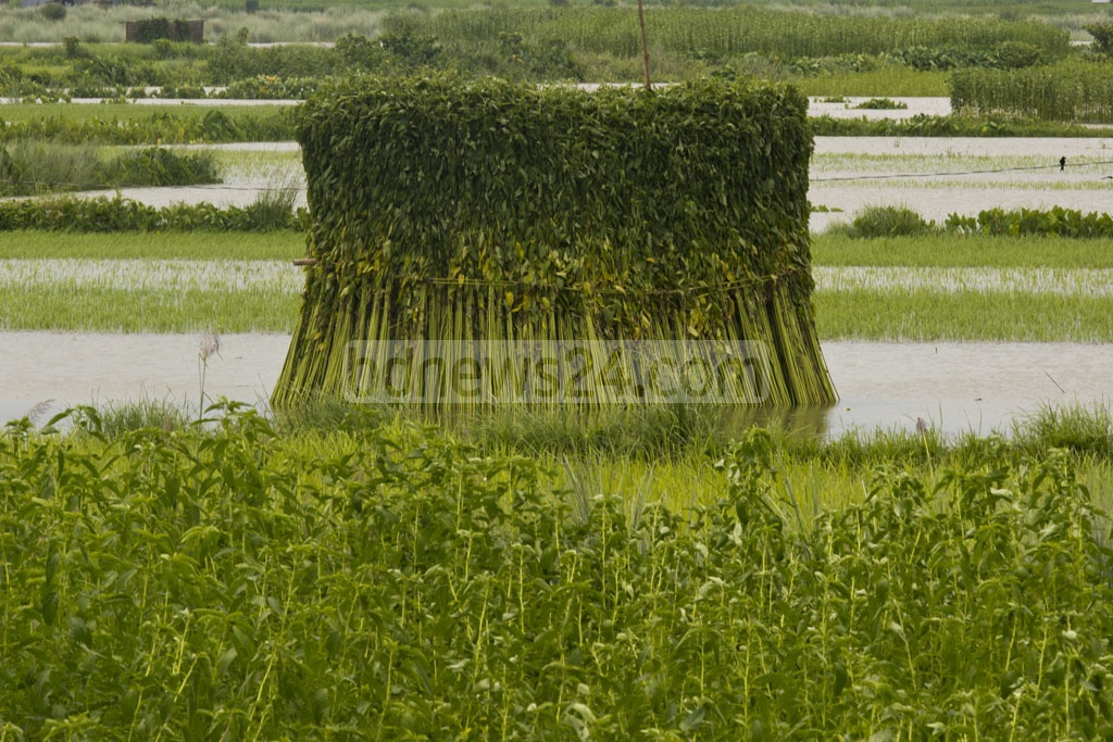 Nagarpur farmers have started harvesting jute from the fields after adequate rain filled the water bodies where the rotting process would take place. Photo: mostafigur rahman