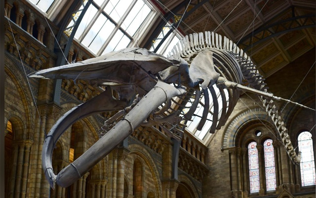 Blue whale skeleton Hope replaces Dippy, Natural History Museum