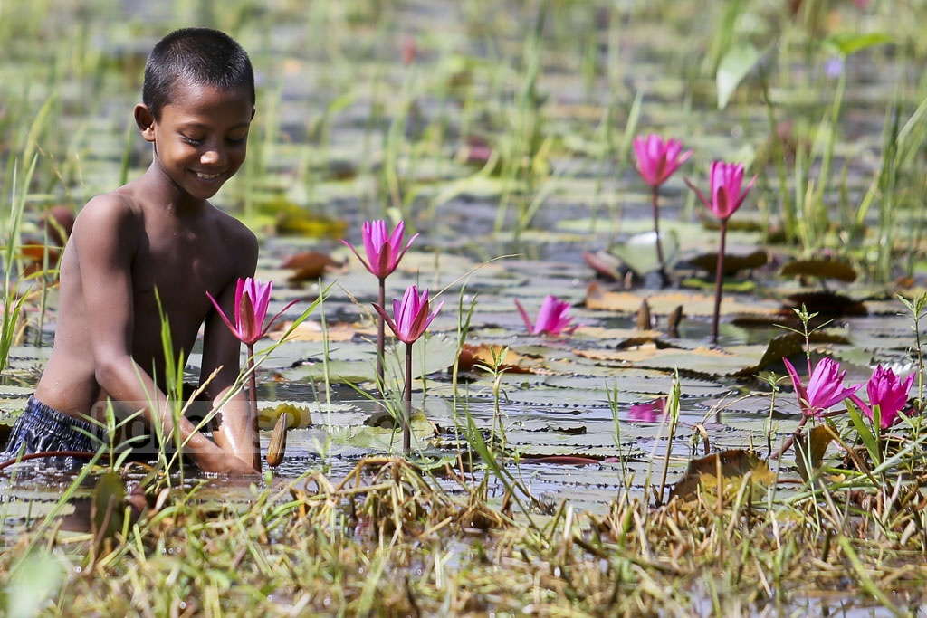 A child plucks red water lily from a water body in Narayanganj's Rupganj on Sunday. Photo: asaduzzaman pramanik