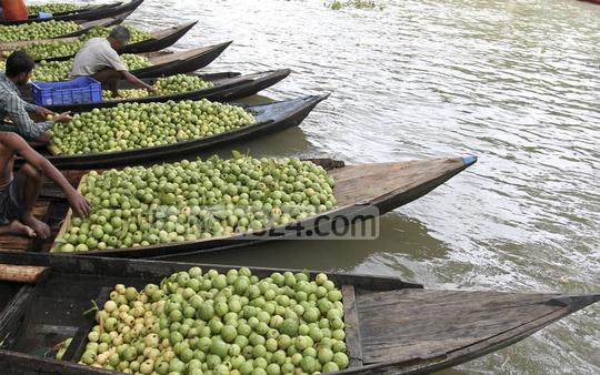 Boats gather to trade guavas on Kirtipasha canal of Jhalakathi's Bhimruli village. Photo: asif mahmud ove