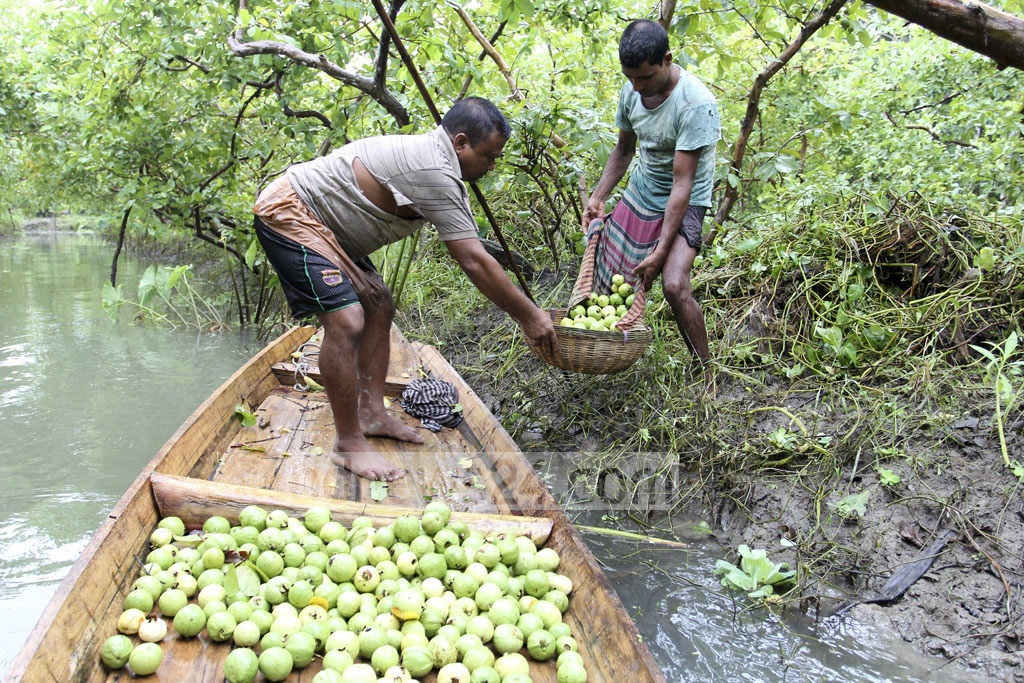 The fruits are then loaded into a wooden boat. Photo: asif mahmud ove