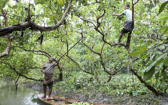 Farmers pick guava off a tree inside a farm at Jhalakathi's Bhimruli. Photo: asif mahmud ove