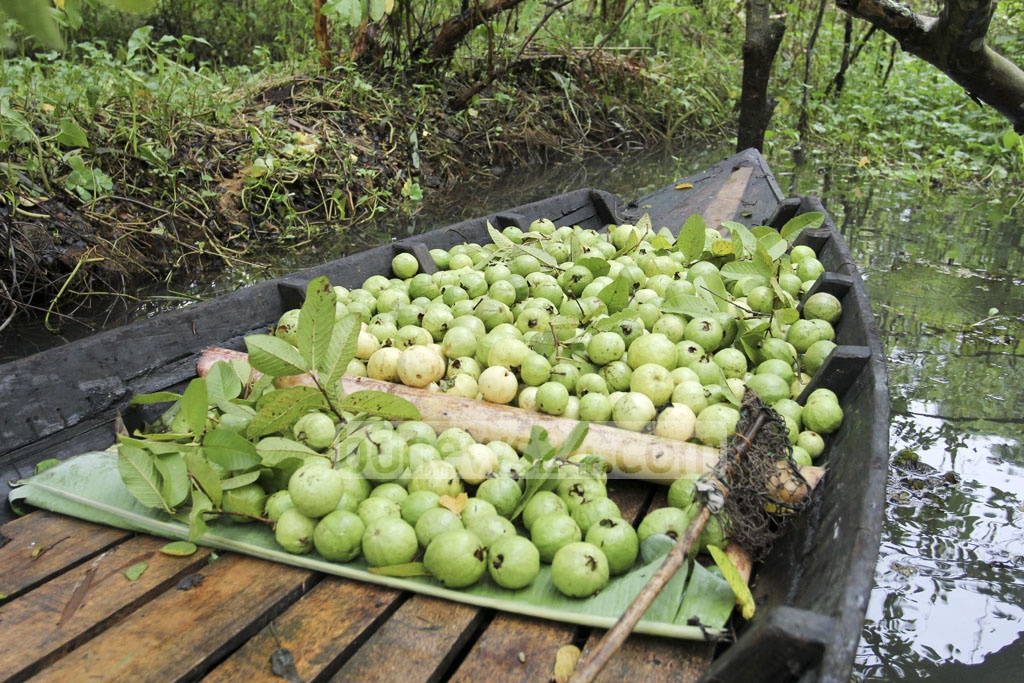 A boat packed with freshly-picked guavas. Photo: asif mahmud ove