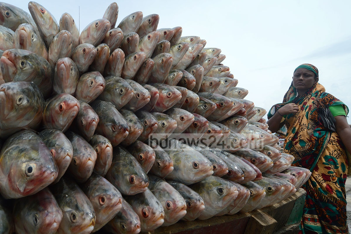 Hilshas galore: The fishermen netted a huge quantity of Hilshas in the sea that increases the supply manifold in Firingibazar Ghat fish market in Chittagong. The picture is taken on Tuesday. Photo: suman babu