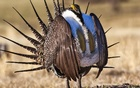 FILE PHOTO - U.S. Bureau of Land Management photo shows a sage grouse in this undated photo. Reuters