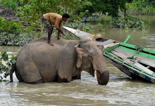 A mahout bathes his elephant inside the flooded Kaziranga National Park in Nagaon district, in the northeastern state of Assam, India August 15, 2017. REUTERS/Anuwar Hazarika