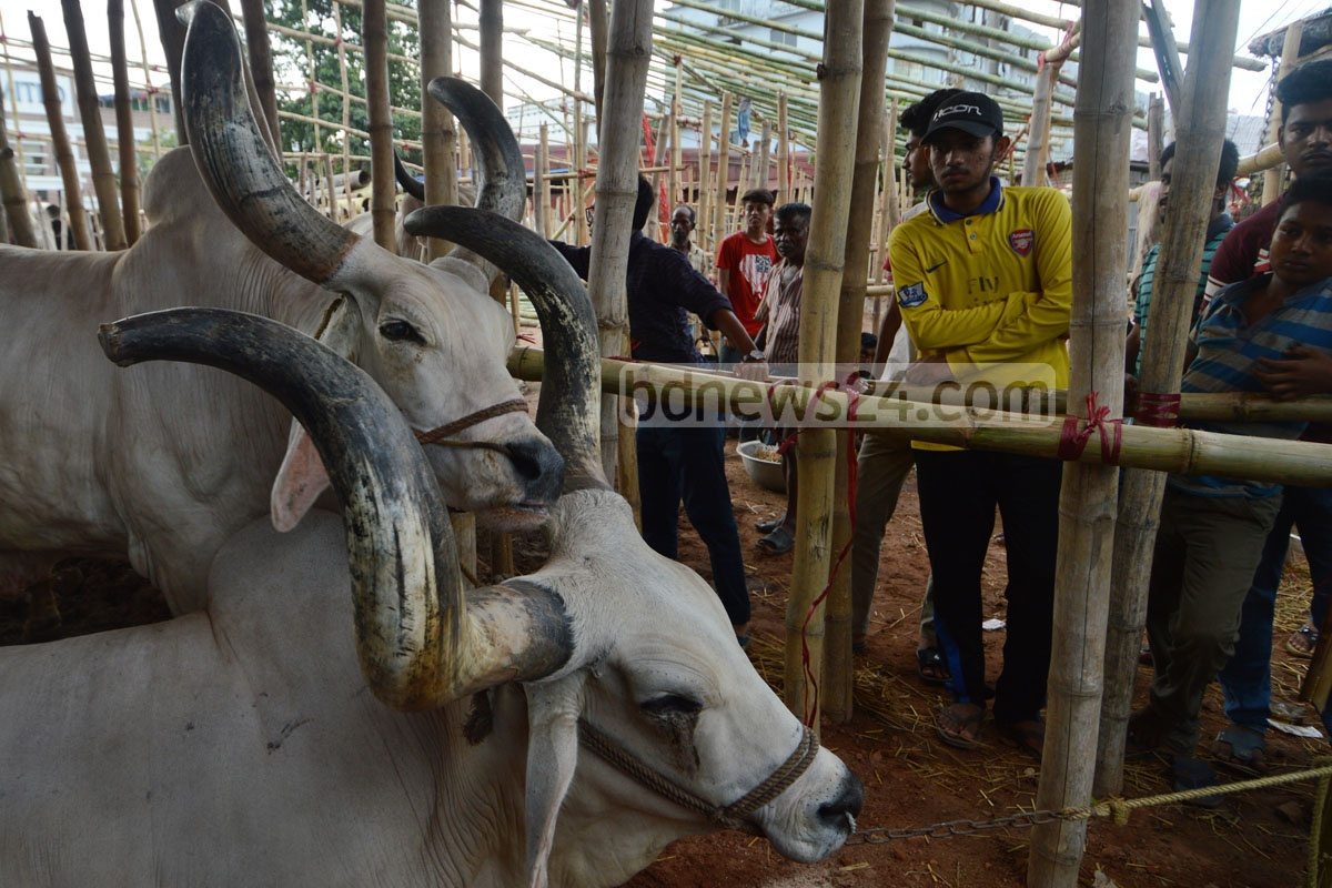 Sacrificial cattle for Eid-ul-Azha started arriving in major city markets. These pictures are taken from Sagorika Bazar in Chittagong. Photo: suman babu