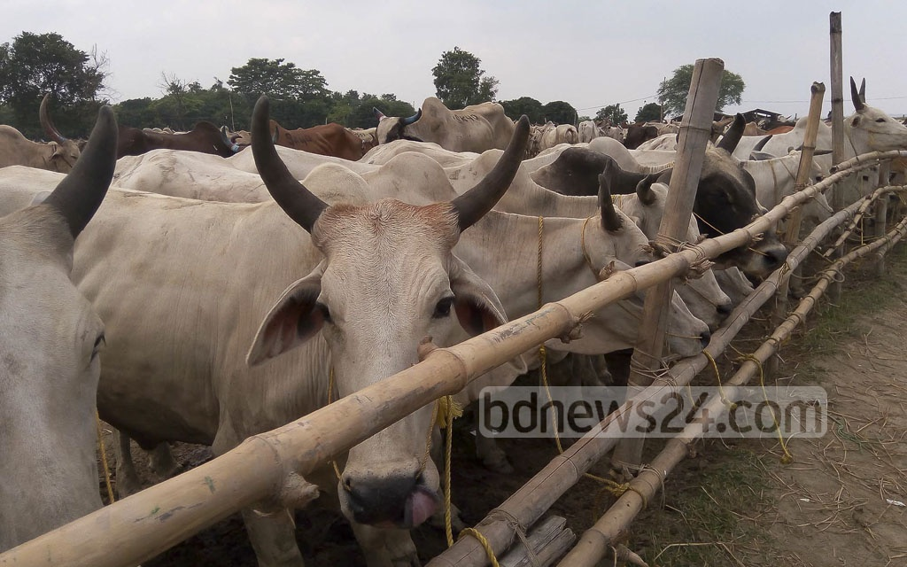 Raghunathpur Bit Khatal near the Bangladesh-India border in Chapainawabganj. Khatals are holding areas for cattle, usually located near a land border post.