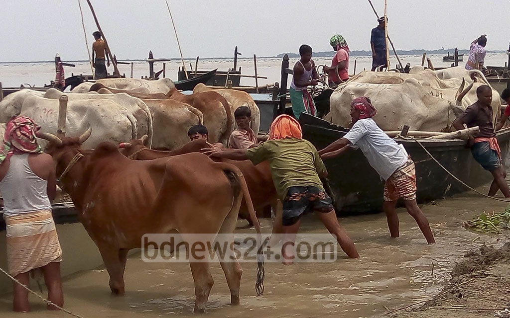 Traders get their cows on boats that will take them to the Raghunathpur Bit Khatal in Chapainawabganj.