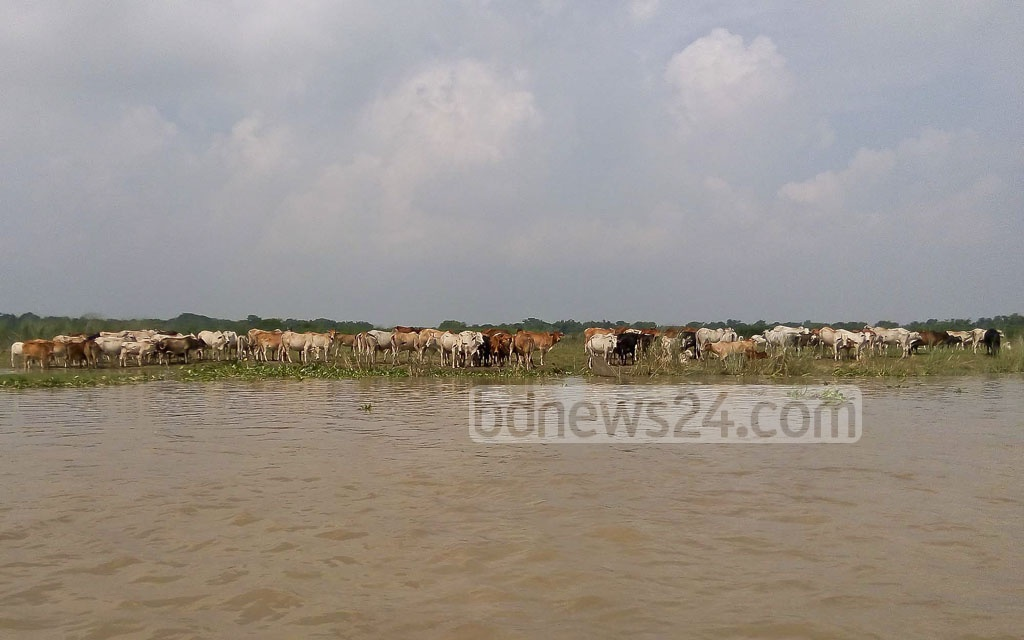 A large herd of Indian cattle is seen grazing on the banks of Padma river in Chapainawabganj, before they are sold to the Raghunathpur Bit Khatal.