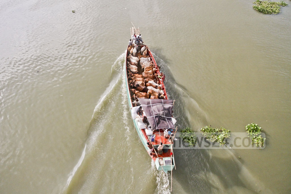 A cattle-laden boat is on its way to Dhaka ahead of Eid-ul-Azha. The photo is taken from Postogola bridge on Saturday. Photo: tanvir ahammed
