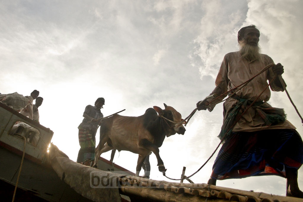 All roads lead to the capital for the cattle traders who are bringing in the sacrificial animals to Dhaka cattle markets on the road and riverways ahead of Eid-ul-Azha. Some of them are seen unloading cattle at Postogola Shoshanghat on Saturday. Photo: tanvir ahammed