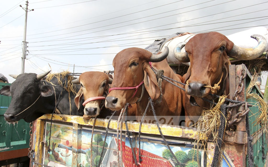 A truck-load of cattle arrives at Gabtoli market as traders started to come with their animals in the designated markets in the capital ahead of the Eid-ul-Azha. This photo is taken on Saturday. Photo: asif mahmud ove