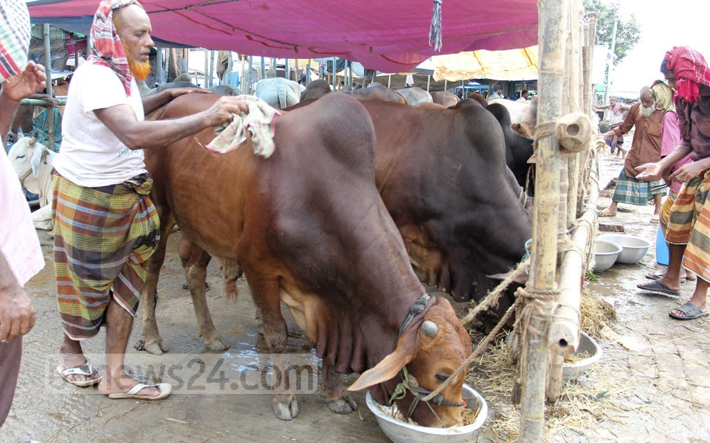 A trader is seen busy taking care of his cattle for sale ahead of Eid-ul-Azha at Gabtoli market on Saturday. Photo: asif mahmud ove