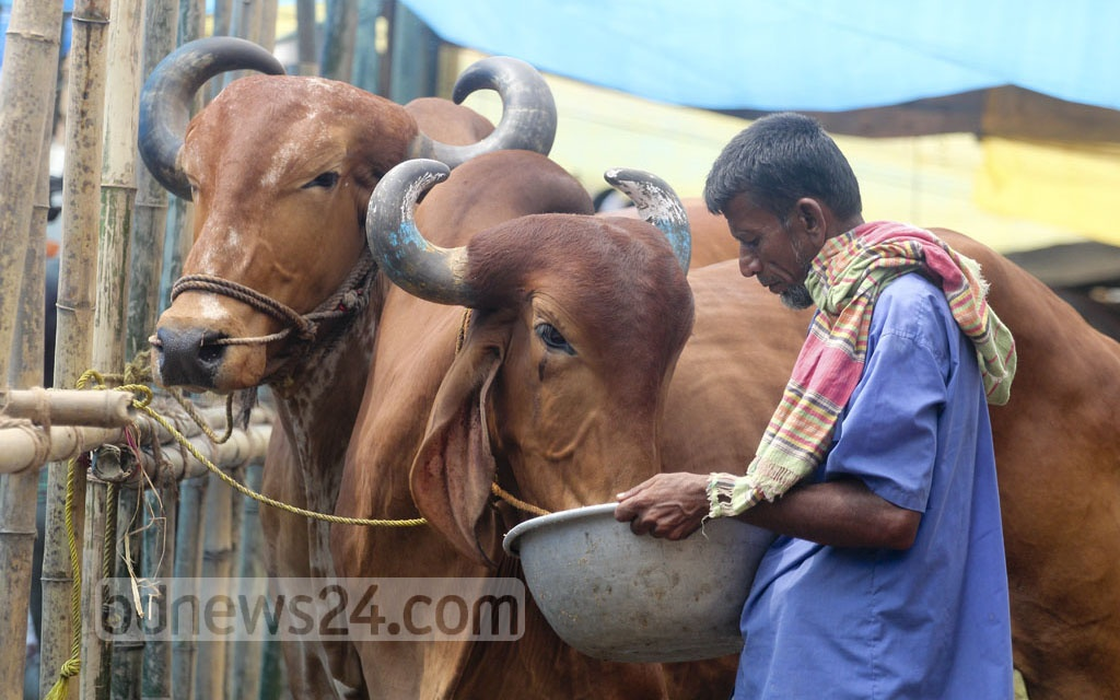 A trader feeds his cattle at Gabtoli market where he brought his sacrificial animals for sale ahead of Eid-ul-Azha. The photo is taken on Saturday. Photo: asif mahmud ove