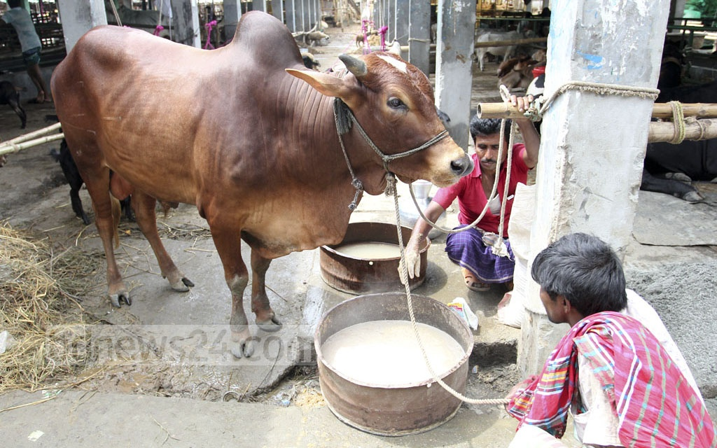 Traders feeding his cattle to be sold for Eid-ul-Azha at Gabtoli cattle market in Dhaka on Saturday. Photo: asif mahmud ove
