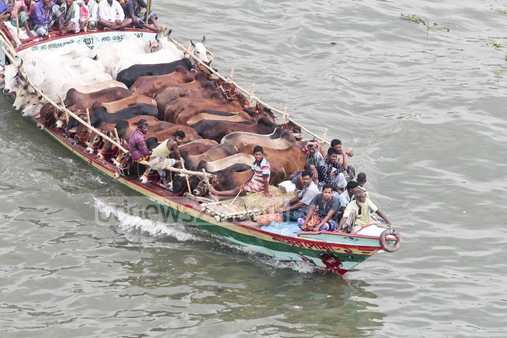 As holidaymakers leave Dhaka, cattle meant for sacrifice during Eid-ul-Azha are brought to the capital where they will be sold in markets. Photo: asif mahmud ove