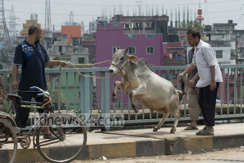 Many find it difficult to take the 'unruly' sacrificial animal home from the market. The photo is taken on Bangladesh-China Friendship Bridge in Postogola on Friday. Photo: mostafigur rahman