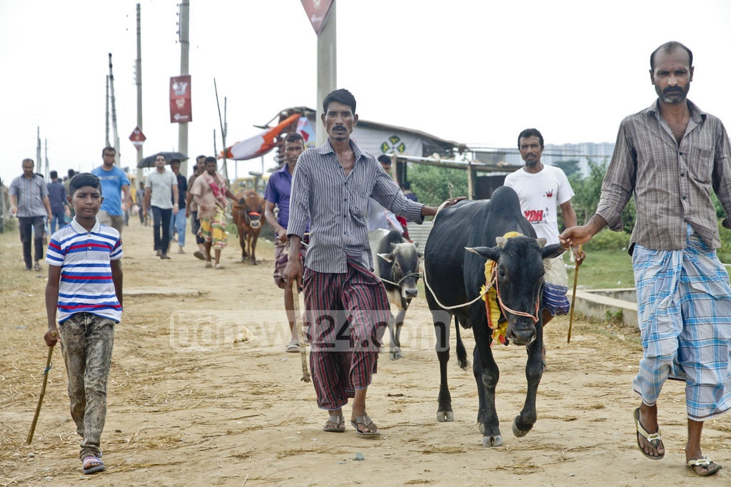 Customers return home with sacrificial animals for Eid-ul-Azha on Friday, the day before the festival. The photo is taken at Mirpur. Photo: tanvir ahammed