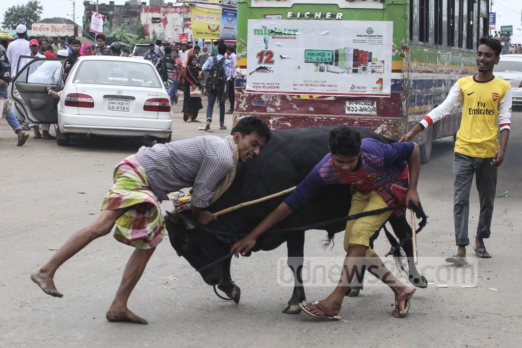 Many find it difficult to take the 'unruly' sacrificial animal home from the market. The photo is taken in Gabtoli on Friday. Photo: asif mahmud ove