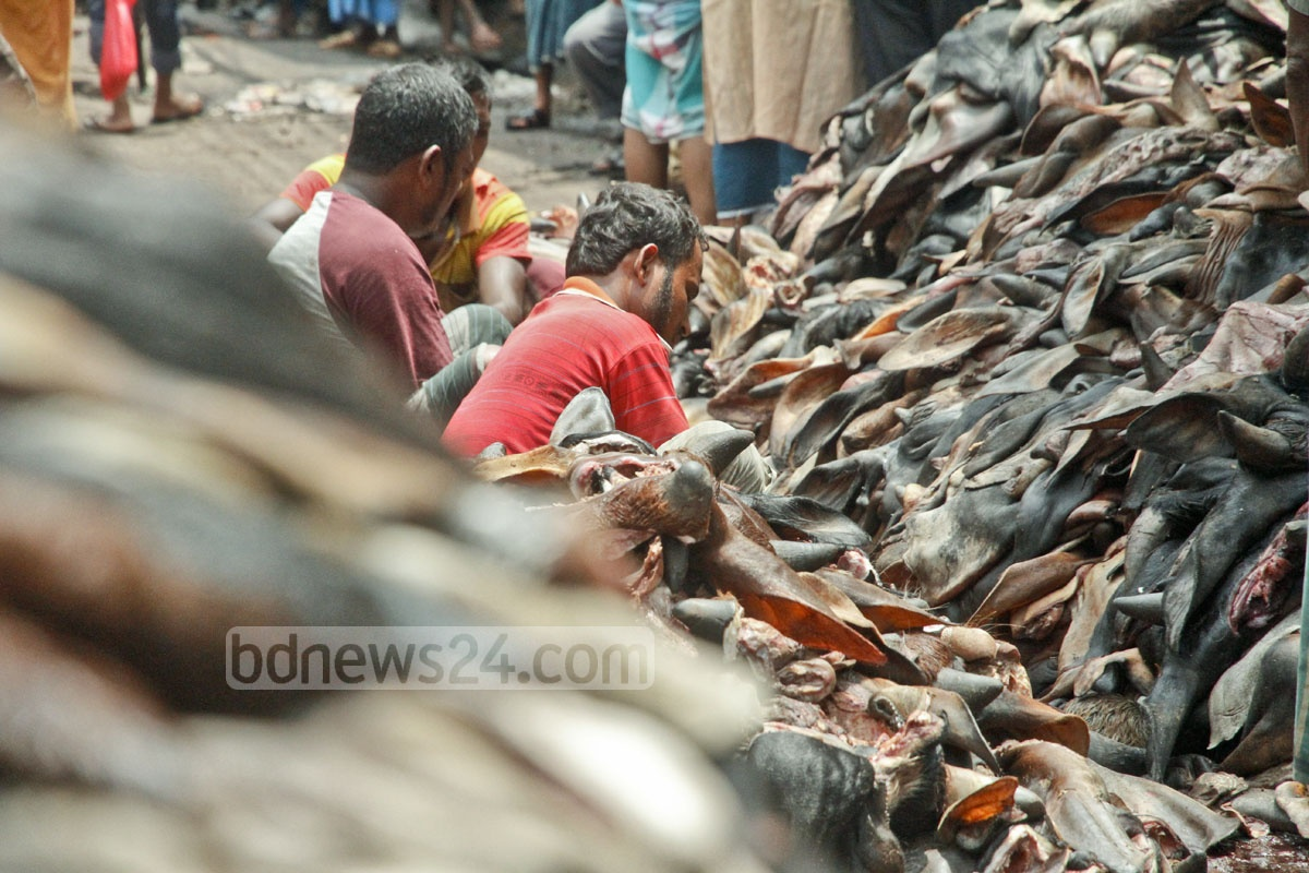 Workers collect hide, bones and other parts of cattle slaughtered on Eid-ul-Azha at Posta in Old Dhaka a day after the Eid. Photo: tanvir ahammed