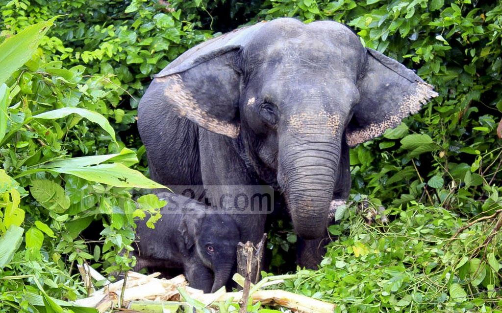 The first elephant calf born in captivity in Bangladesh, at Bangabandhu Sheikh Mujib Safari Park in Gazipur on Aug 27, is named 'Ban Madhury' and pictured with its mother 'Mukti Rani' on Friday.