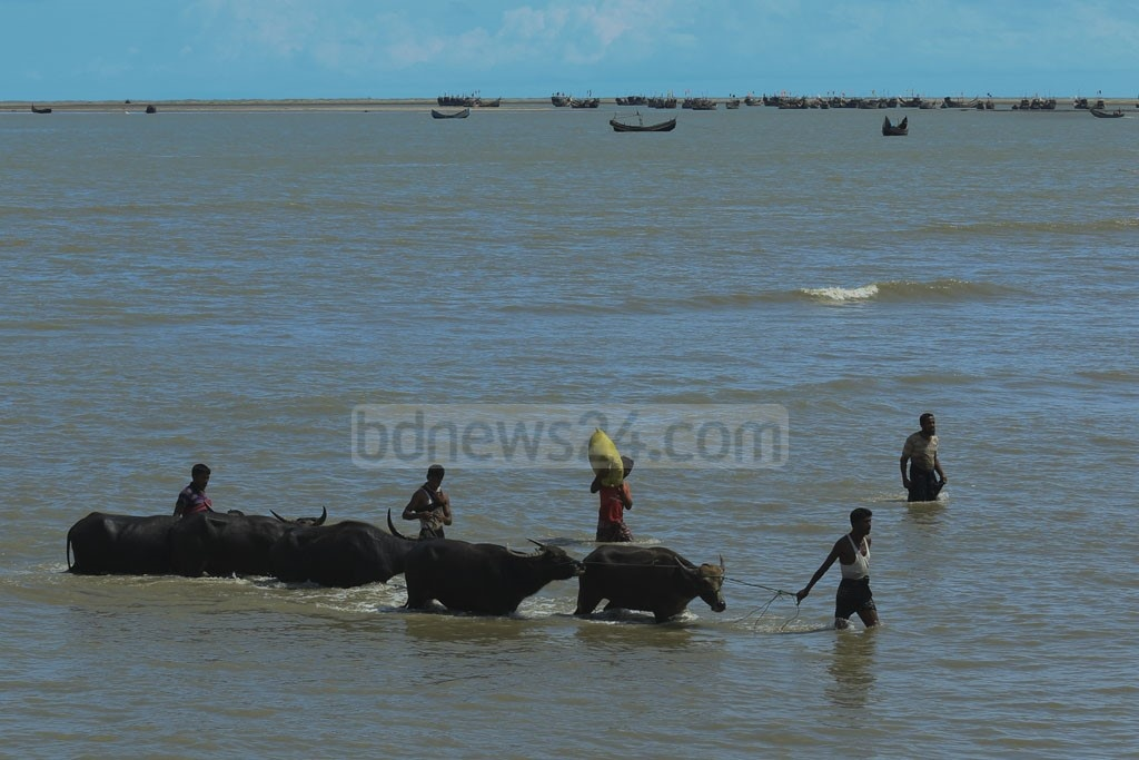 Rohingya refugees guide their water buffaloes to Shah Porir Dwip in Cox's Bazar. Photo: mostafigur rahman
