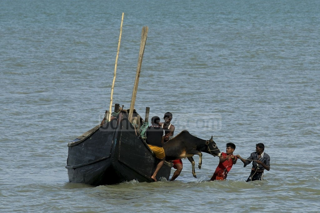 Rohingya refugees lower a cow near the shore of Shah Porir Dwip in Cox's Bazar. Photo: mostafigur rahman