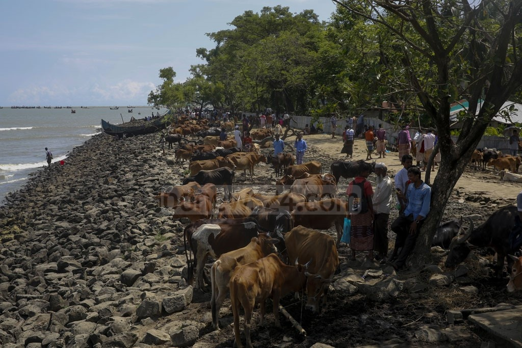 A cattle market set up on the shore of Shah Porir Dwip in Bangladesh's Cox's Bazar for the sale of livestock that crossed the Naf River with Rohingya refugees fleeing violence in Myanmar. Photo: mostafigur rahman