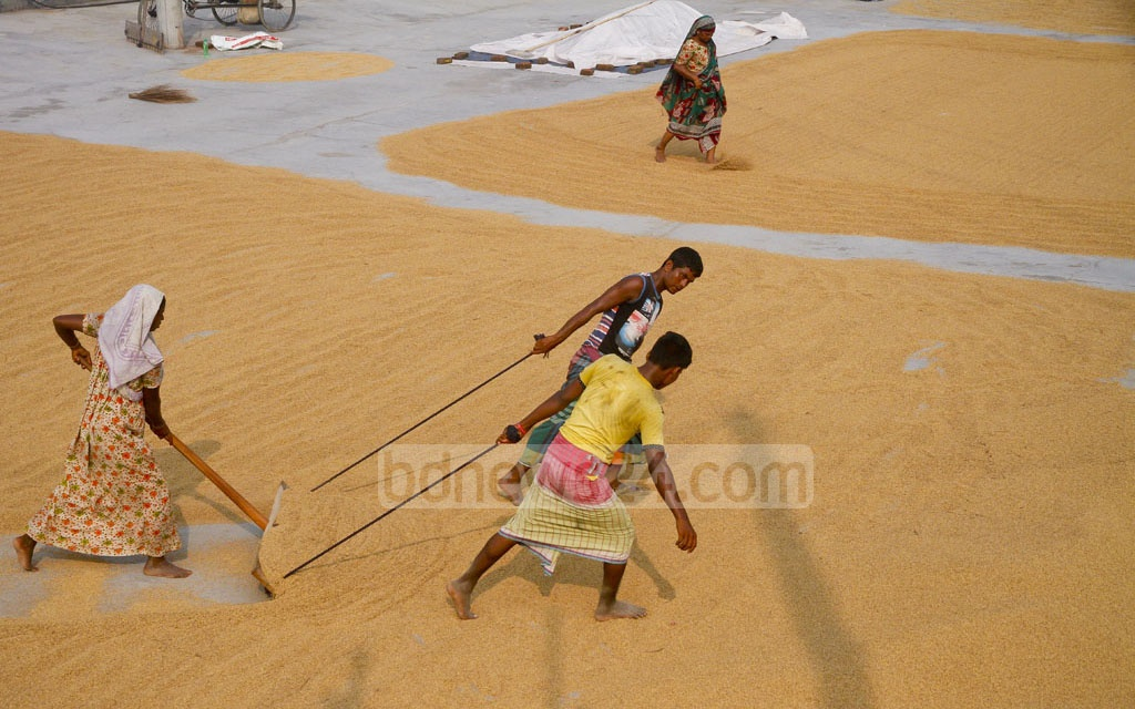 Workers use the traditional method of drying paddy at a barn near the Dhaka-Mawa Highway. Photo: tanvir ahammed