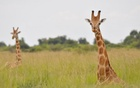 Nubian giraffes are seen in Murchison Falls, Uganda in this undated handout picture. Courtesy Julian Fennessy/Handout via REUTERS