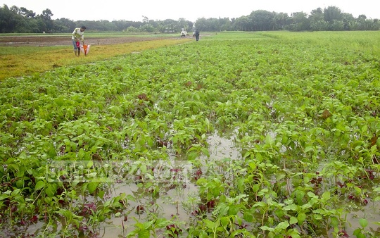 Excess rainwater is trapped in a field for growing vegetables at Faridpur on Sunday, following two days of heavy downpour.