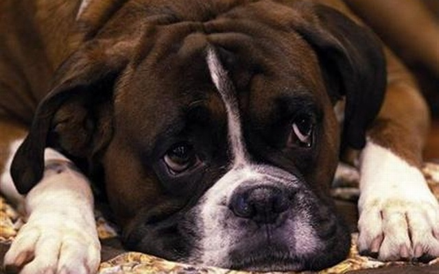 Jenson, a Boxer dog rests in his stall on the first day of the Crufts dog show in Birmingham, central England, Mar 11, 2010. Reuters