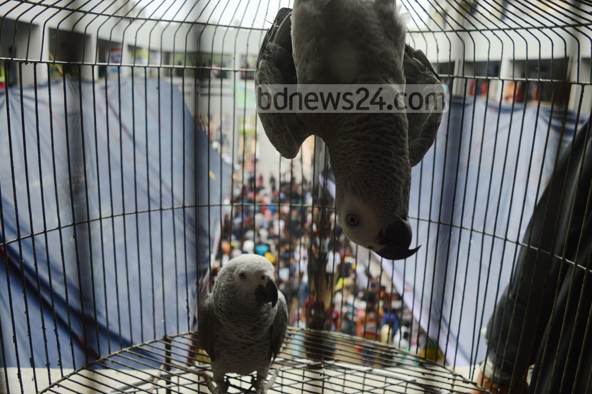 African grey parrots are shown at an exhibition in Chittagong Veterinary and Animal Sciences University on Saturday. Photo: sumon babu
