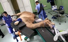 A camel is brought in for foot surgery at the Dubai Camel Hospital in Dubai, UAE, December 11, 2017. Picture taken December 11,2017. Reuters