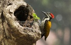 Rarely seen nowadays a black-rumped flameback, also known as the lesser goldenback woodpecker, is caught in bdnews24.com camera on Friday at the Suhrawardy Udyan in the capital. Photo: dipu malakar