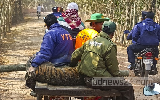The body of the young tiger beaten to death by the locals at Morrelganj in Bagerhat is being taken to Mongla Animal Resource Centre on Tuesday.