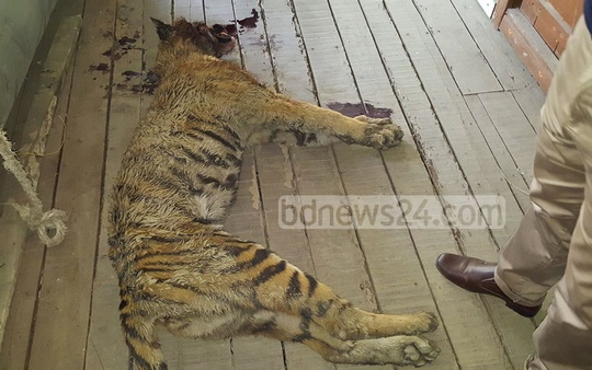 The locals killed this tiger cub in fear of attack at Morrelganj in Bagerhat after it lost its way and entered the locality on Tuesday. Photo: mehedi hasan