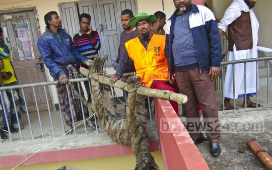 The body of the young tiger beaten to death by the locals at Morrelganj in Bagerhat is taken to Mongla Animal Resource Centre on Tuesday. Photo: mehedi hasan