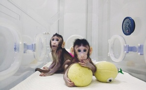 Cloned monkeys Zhong Zhong and Hua Hua are seen at the non-human primate facility at the Chinese Academy of Sciences in Shanghai, China January 20, 2018, in this picture provided by Chinese Academy of Sciences and released by China Daily. China Daily via REUTERS
