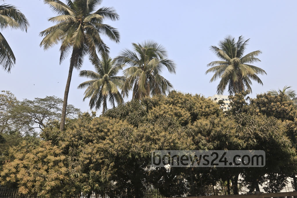 Mango blossoms adorn the trees in Dhaka's Segun Bagicha on Saturday, as spring sets in. Photo: Abdullah Al Momin
