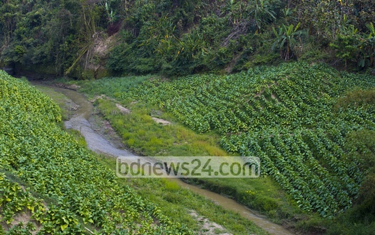 Tobacco farming on the hills at Bandarban's Ruma Upazila. Tobacco farming is on the rise in the district like other areas in the Chittagong Hill Tracts backed by loans from tobacco companies. Photo: mostafigur rahman