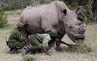 File Photo: Wardens assist the last surviving male northern white rhino named 'Sudan' as it grazes at the Ol Pejeta Conservancy in Laikipia national park, Kenya Jun 14, 2015. Reuters