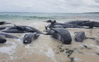 Stranded whales on the beach at Hamelin Bay in this picture obtained from social media, Mar 23, 2018. Leearne Hollowood via Reuters
