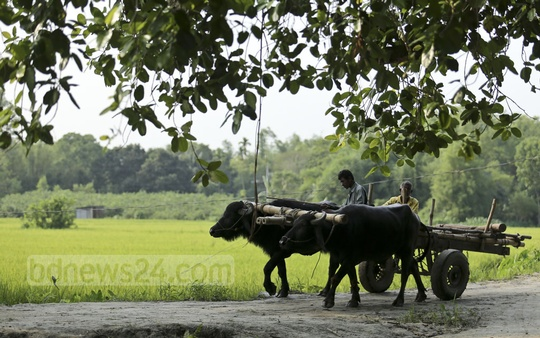A cart pulled by a pair of buffaloes rattles away through a village road in Dhamrai on the outskirts of Dhaka. Carts are widely used in Bangladesh, particularly in remote areas. Photo: Mahmud Zaman Ovi