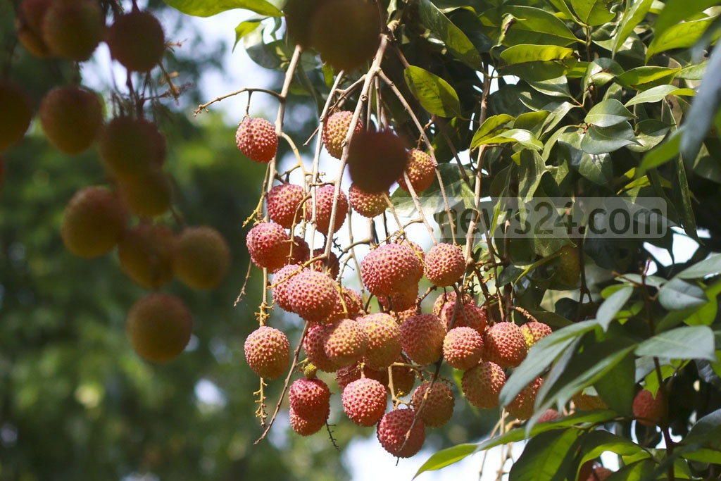 Clusters of ripe litchis are seen on the trees. The photo was taken from Sonargaon's Panamanagar. Photo: Abdullah Al Momin